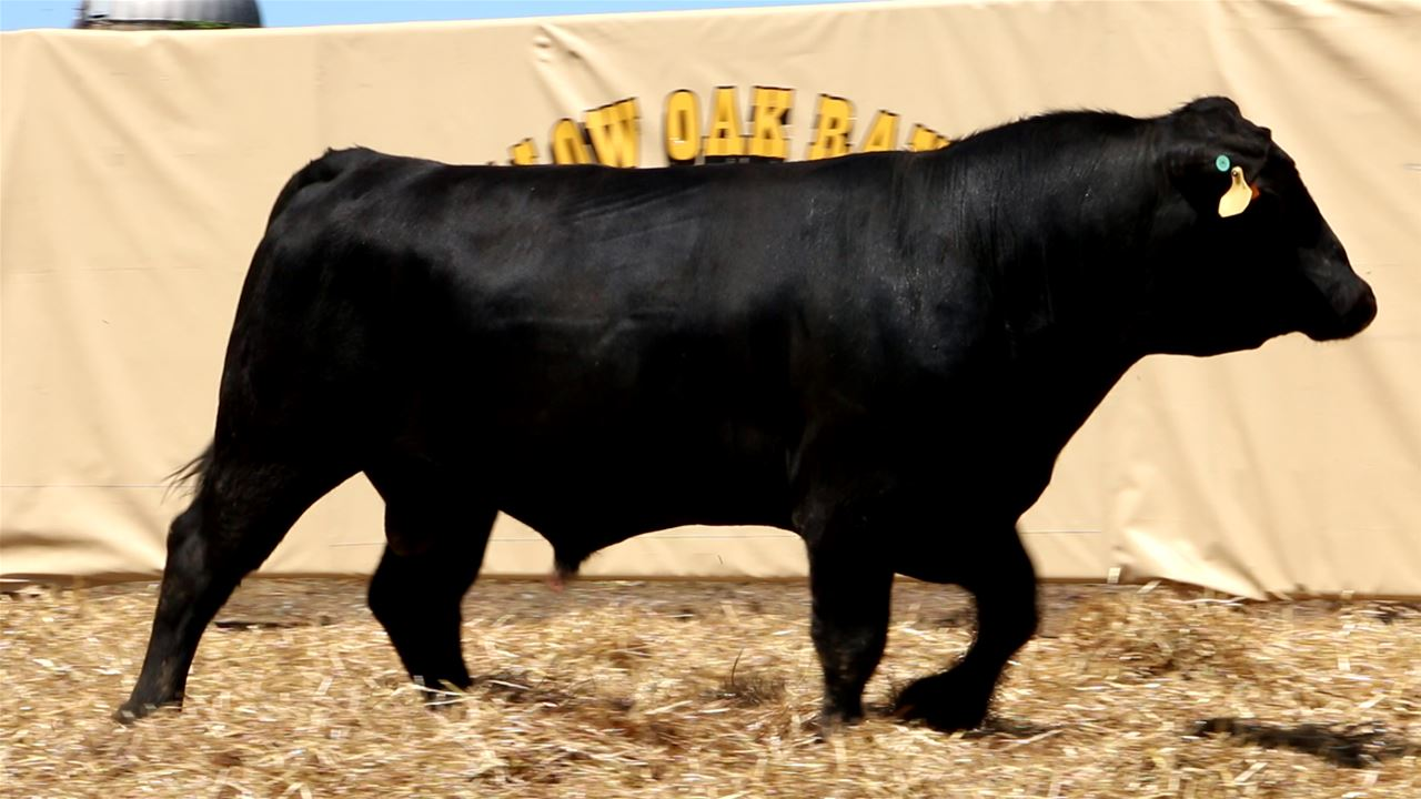 Best Black Bulls